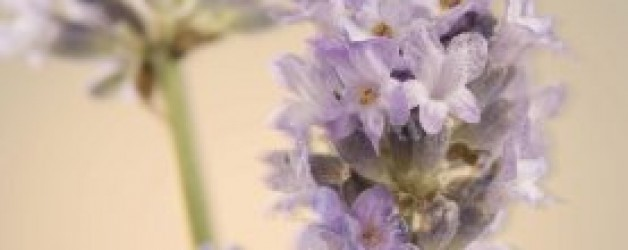 'Lavender Awareness' for Spring 2013 – Annual Event from 1st September