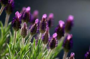 800px-Lavendel